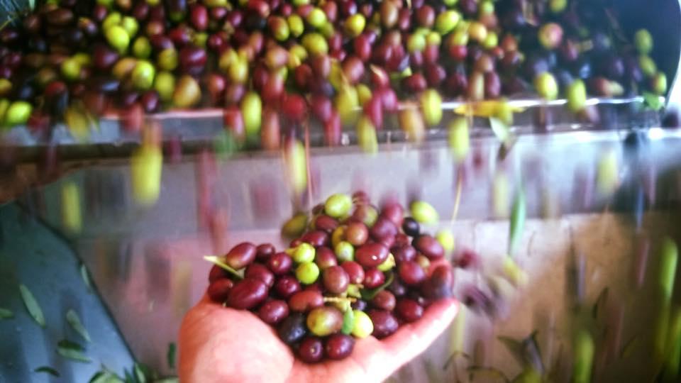 Sypající se olivy