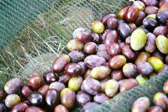 Olivy v síti