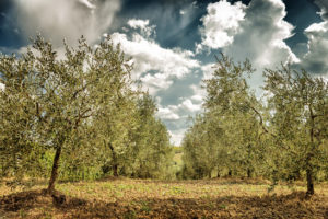 Sad s olivami